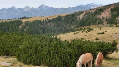 Haflinger auf einer Südtiroler Alm